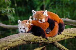 Kuscheln wie der Rote Panda